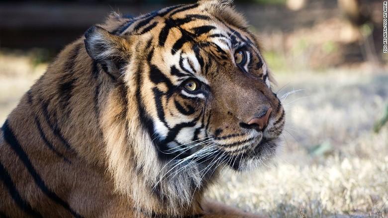A tiger at the Atlanta Zoo.